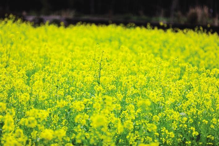 油菜花开春色美