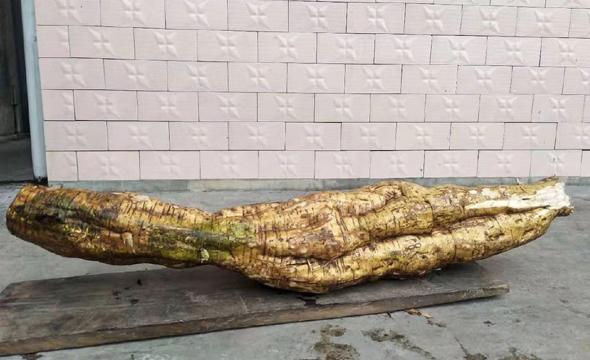 """湘西一村民挖出近20公斤的野生""""葛王"""""""
