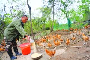 生态土鸡助脱贫