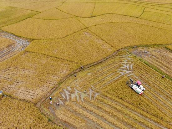 千亩超级稻收割