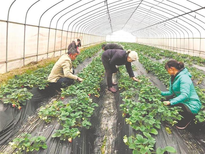 草莓种植 助农增收