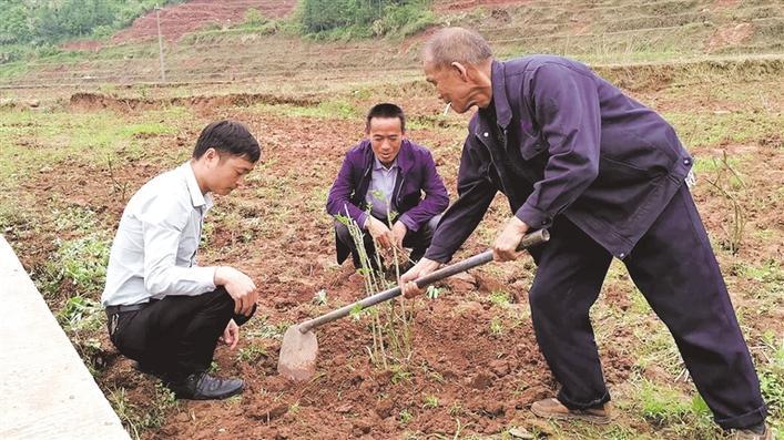 金樱子种植助脱贫