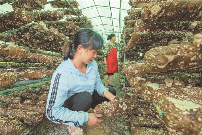 香菇种植促增收