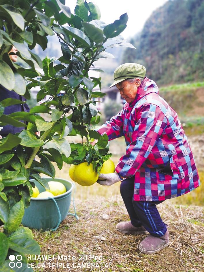 白皮柚产业助农增收