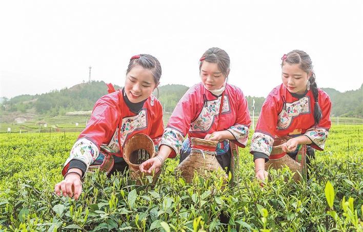 种植茶叶助农增收